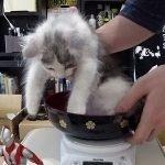 【体重計測】第1回!はがね先生の公開計量 / First weighing of kitten【成長の証】[ゲーム実況by癒しのあいろん雑学ゲーム実況]