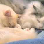 1歳と2歳の兄弟猫が最近妙にラブラブなのです。[ゲーム実況by癒しのあいろん雑学ゲーム実況]