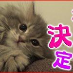 【子猫】名前が決定しました【ラガマフィン】[ゲーム実況by ベル]