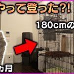 【子猫】登り方が衝撃的www 生後2ヵ月の子猫が180cmのケージの頂上に!【ラガマフィン】[ゲーム実況byBelle]